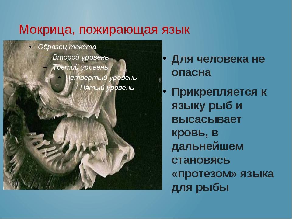 Мокрица, пожирающая язык Для человека не опасна Прикрепляется к языку рыб и в...
