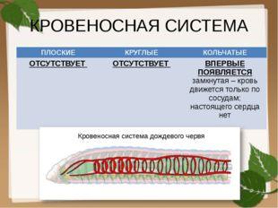 КРОВЕНОСНАЯ СИСТЕМА Кровеносная система дождевого червя ПЛОСКИЕ КРУГЛЫЕ КОЛЬЧ