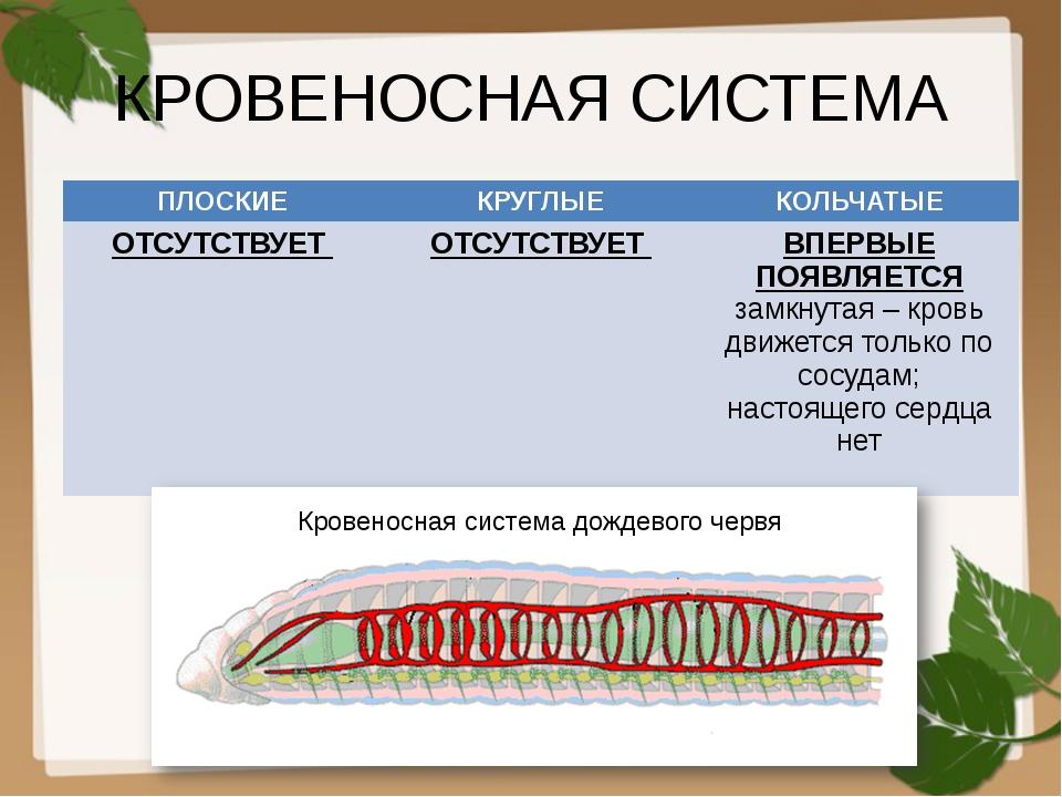 КРОВЕНОСНАЯ СИСТЕМА Кровеносная система дождевого червя ПЛОСКИЕ КРУГЛЫЕ КОЛЬЧ...