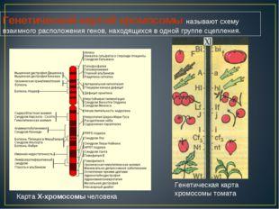 Карта X-хромосомы человека Генетическая карта хромосомы томата Генетической к