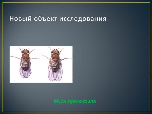 Муха дрозофила ♀ ♂