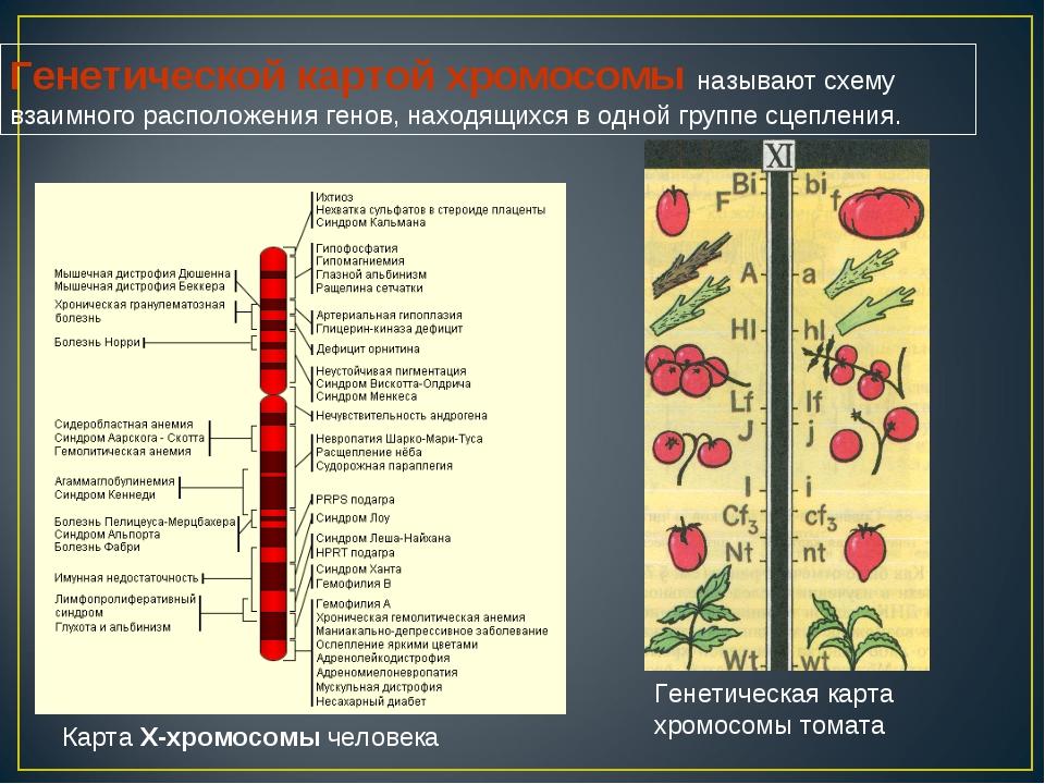 Карта X-хромосомы человека Генетическая карта хромосомы томата Генетической к...