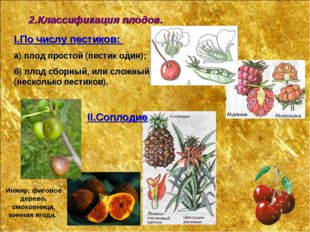 2.Классификация плодов. I.По числу пестиков: а) плод простой (пестик один); б