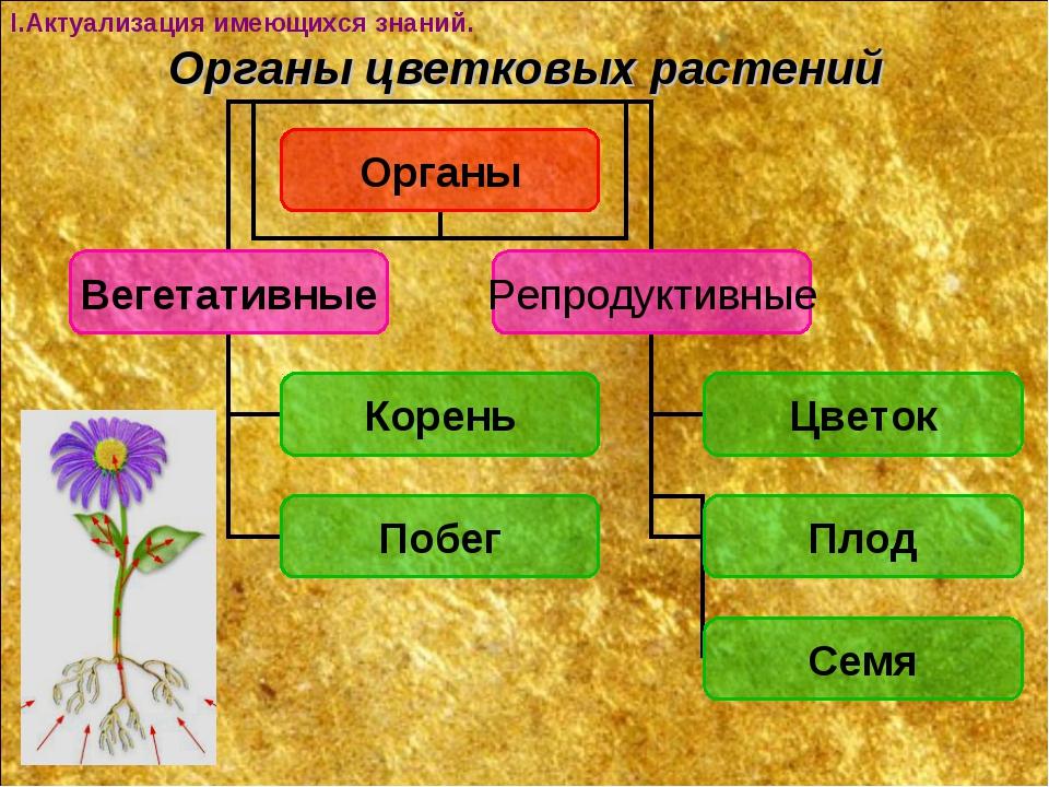Органы цветковых растений I.Актуализация имеющихся знаний.