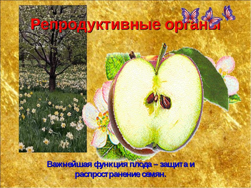 Репродуктивные органы Важнейшая функция плода – защита и распространение семян.