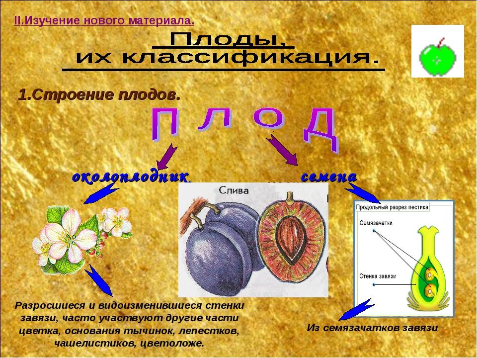 II.Изучение нового материала. 1.Строение плодов. околоплодник семена Разросши...