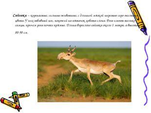 Сайгаки– коренастые, сильные животные, с длинной мягкой шерстью серо-желто