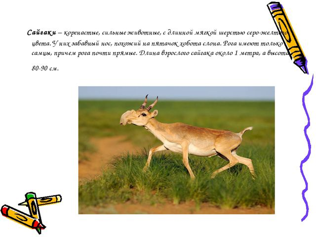 Сайгаки– коренастые, сильные животные, с длинной мягкой шерстью серо-желто...