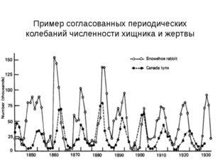 Пример согласованных периодических колебаний численности хищника и жертвы