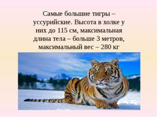 Самые большие тигры – уссурийские. Высота в холке у них до 115 см, максимальн