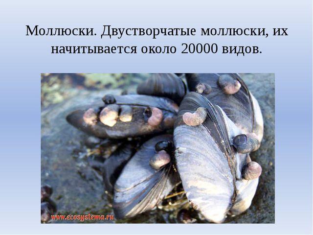 Моллюски. Двустворчатые моллюски, их начитывается около 20000 видов.