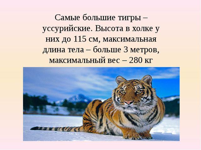 Самые большие тигры – уссурийские. Высота в холке у них до 115 см, максимальн...