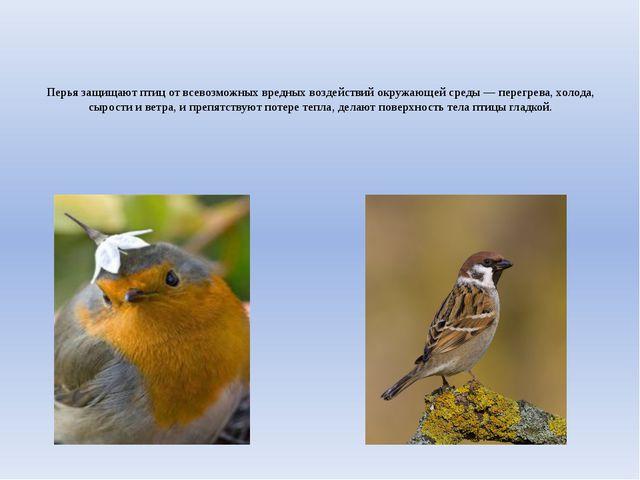 Перья защищают птиц от всевозможных вредных воздействий окружающей среды — пе...