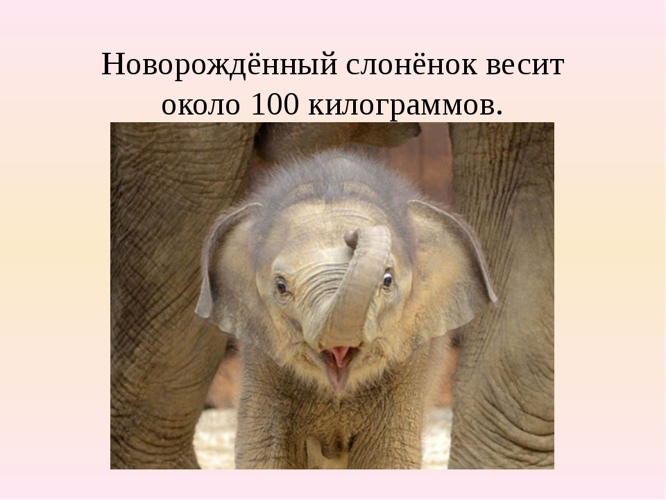 Новорождённый слонёнок весит около 100 килограммов.