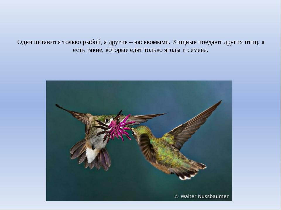 Одни питаются только рыбой, а другие – насекомыми. Хищные поедают других птиц...