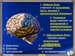 1. Лобные доли отвечают за мышление, язык, эмоции и произвольные движения 2.