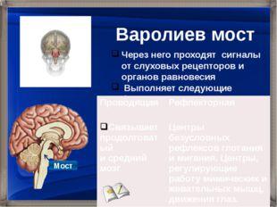 Через него проходят сигналы от слуховых рецепторов и органов равновесия Выпо