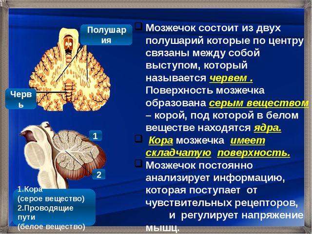 Мозжечок состоит из двух полушарий которые по центру связаны между собой выс...