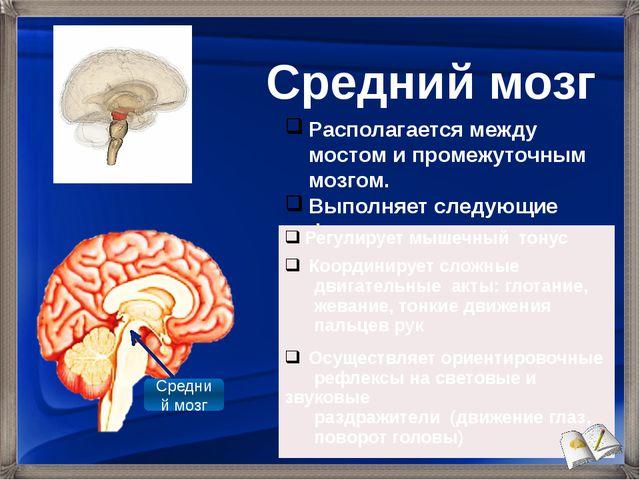 Располагается между мостом и промежуточным мозгом. Выполняет следующие функци...