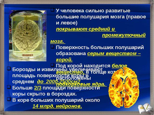 У человека сильно развитые большие полушария мозга (правое и левое) покрывают...