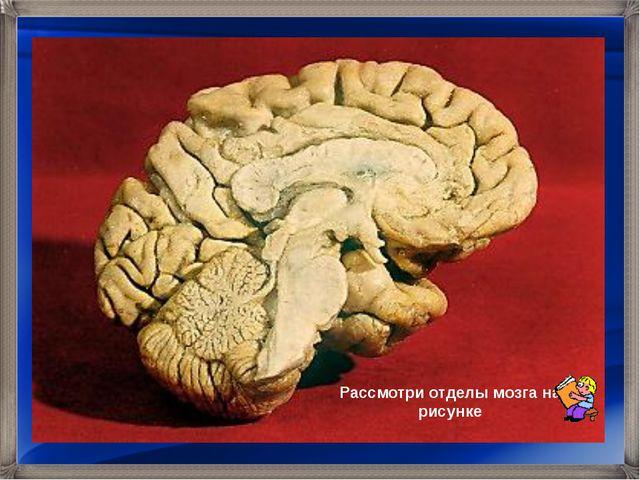 Рассмотри отделы мозга на рисунке