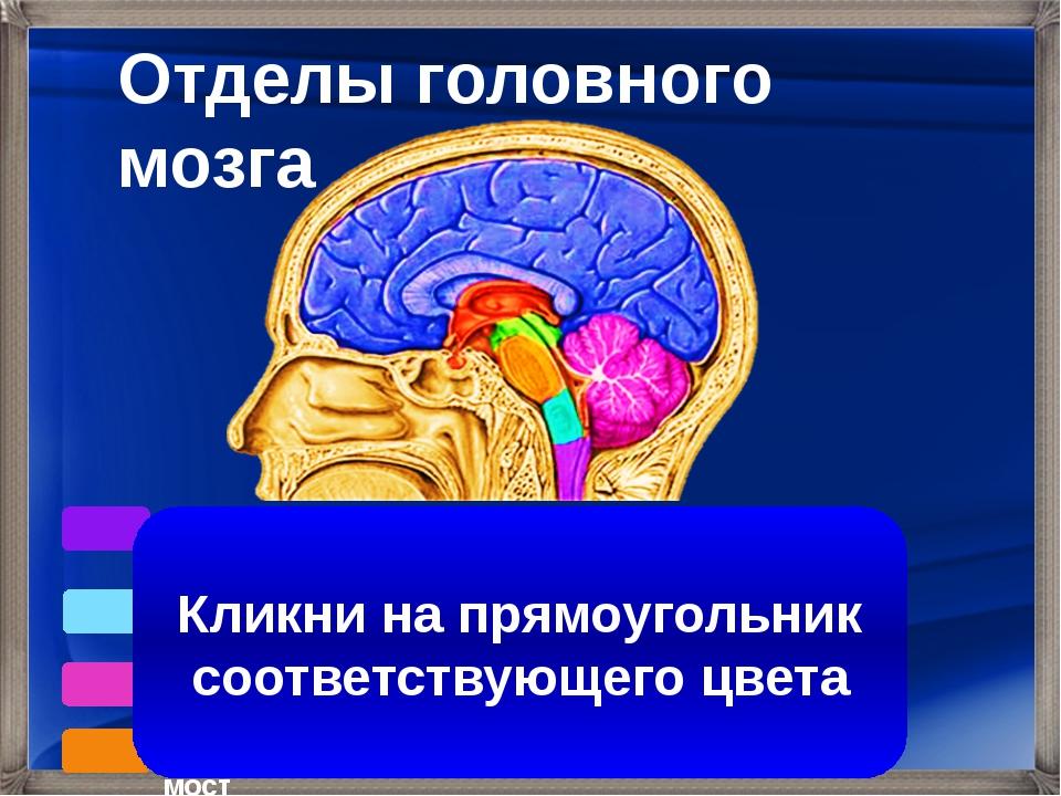 Кора больших полушарий Продолговатый мозг Средний мозг Промежуточный мозг Мо...