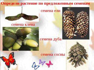 Определи растение по предложенным семенам семена клена семена дуба семена ели