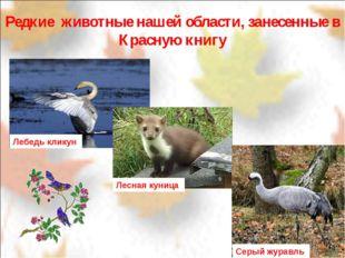 Редкие животные нашей области, занесенные в Красную книгу Лебедь кликун Лесн