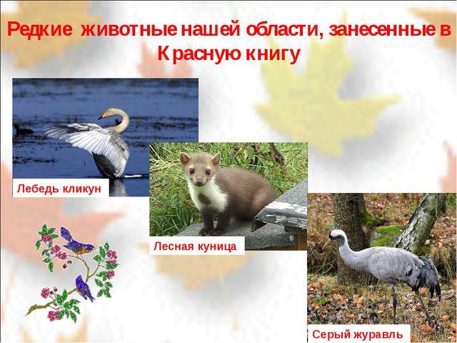 Редкие животные нашей области, занесенные в Красную книгу Лебедь кликун Лесн...