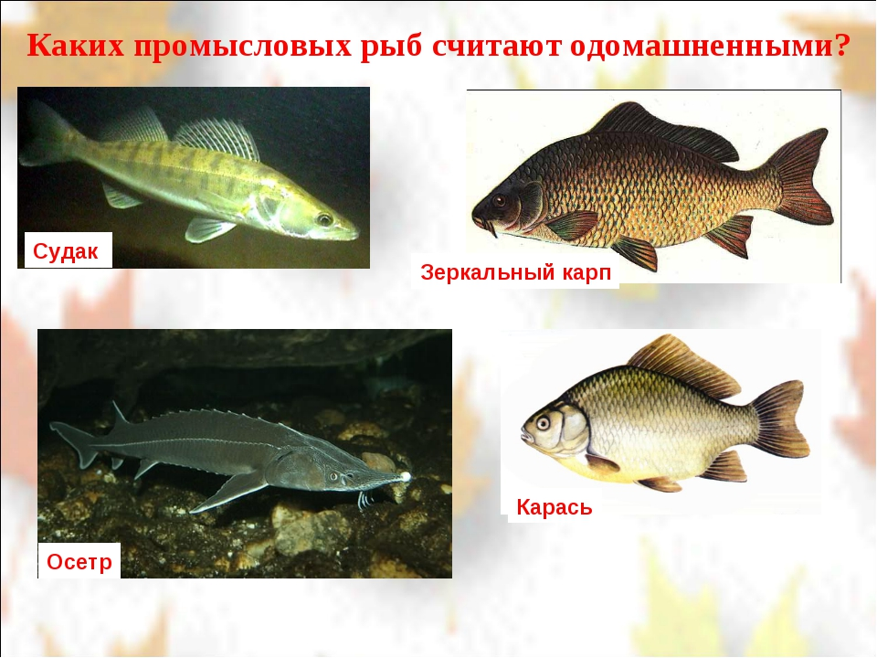 Каких промысловых рыб считают одомашненными? Судак Зеркальный карп Карась Осетр