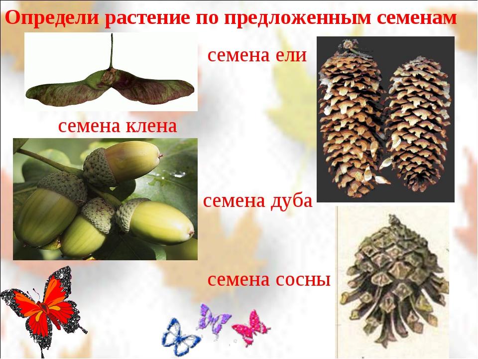 Определи растение по предложенным семенам семена клена семена дуба семена ели...