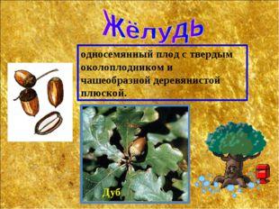 Дуб односемянный плод с твердым околоплодником и чашеобразной деревянистой пл