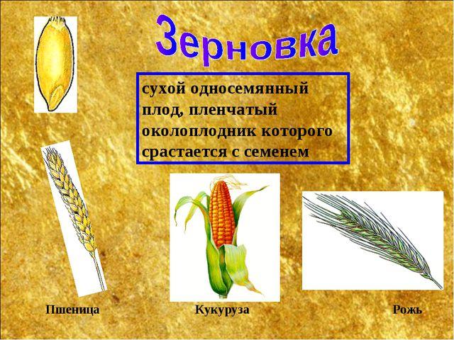 сухой односемянный плод, пленчатый околоплодник которого срастается с семенем...