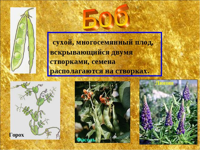 сухой, многосемянный плод, вскрывающийся двумя створками, семена располагают...