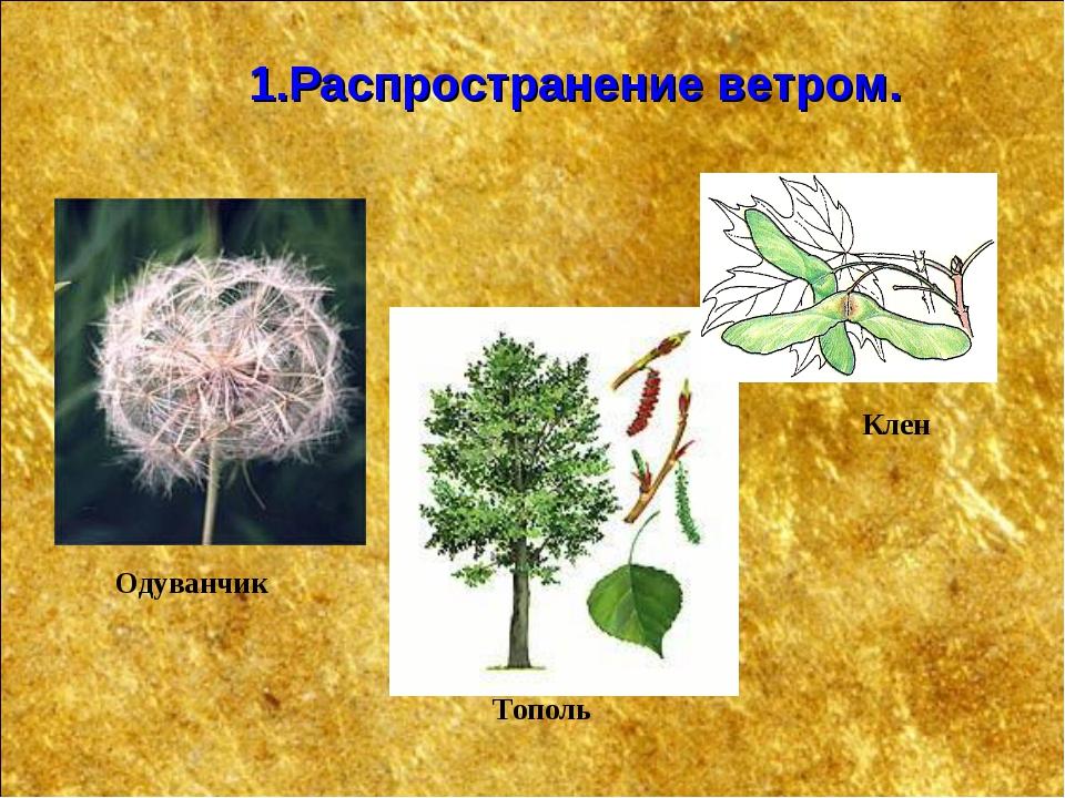 Клен Одуванчик 1.Распространение ветром. Тополь