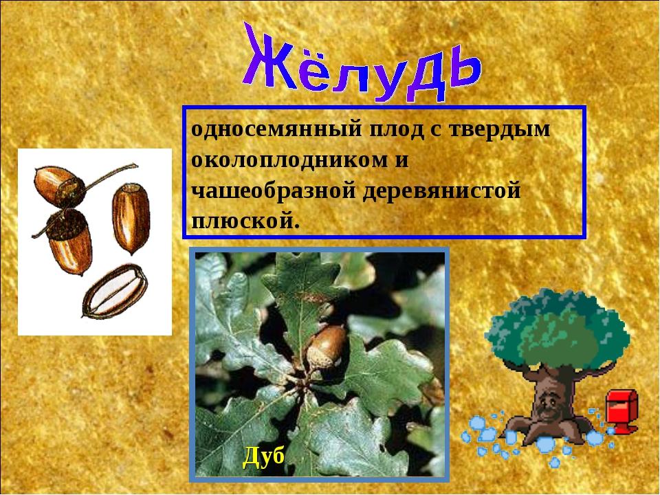 Дуб односемянный плод с твердым околоплодником и чашеобразной деревянистой пл...