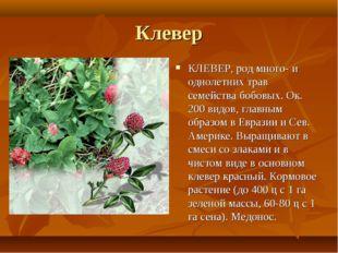 Клевер КЛЕВЕР, род много- и однолетних трав семейства бобовых. Ок. 200 видов,