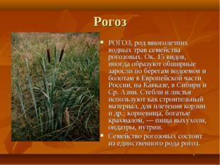 Рогоз РОГОЗ, род многолетних водных трав семейства рогозовых. Ок. 15 видов, и