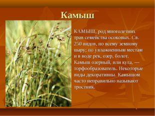 Камыш КАМЫШ, род многолетних трав семейства осоковых. Св. 250 видов, по всему
