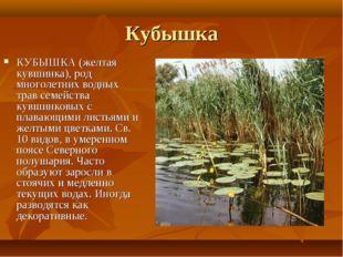 Кубышка КУБЫШКА (желтая кувшинка), род многолетних водных трав семейства кувш