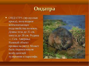 Ондатра ОНДАТРА (мускусная крыса), полуводное млекопитающее подсемейства поле