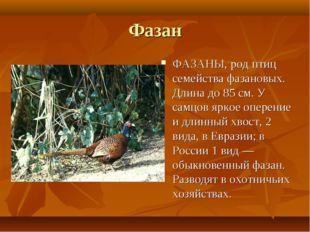 Фазан ФАЗАНЫ, род птиц семейства фазановых. Длина до 85 см. У самцов яркое оп