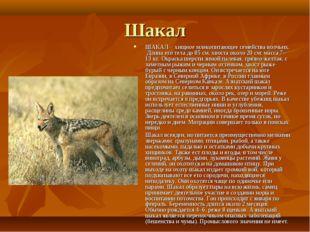 Шакал ШАКАЛ - хищное млекопитающее семейства волчьих. Длина его тела до 85 см