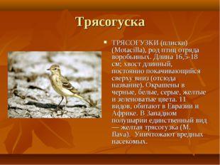 Трясогуска ТРЯСОГУЗКИ (плиски) (Motacilla), род птиц отряда воробьиных. Длина