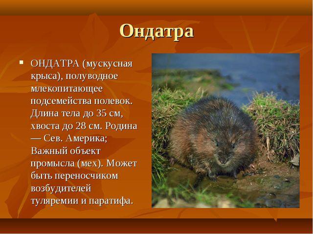 Ондатра ОНДАТРА (мускусная крыса), полуводное млекопитающее подсемейства поле...