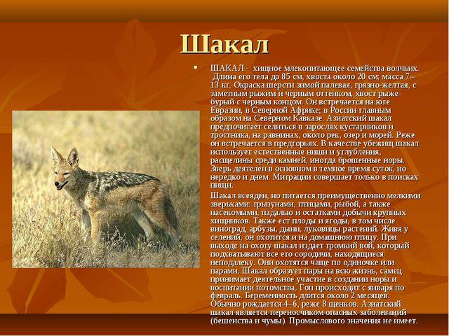 Шакал ШАКАЛ - хищное млекопитающее семейства волчьих. Длина его тела до 85 см...