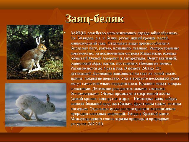 Заяц-беляк ЗАЙЦЫ, семейство млекопитающих отряда зайцеобразных. Ок. 50 видов,...