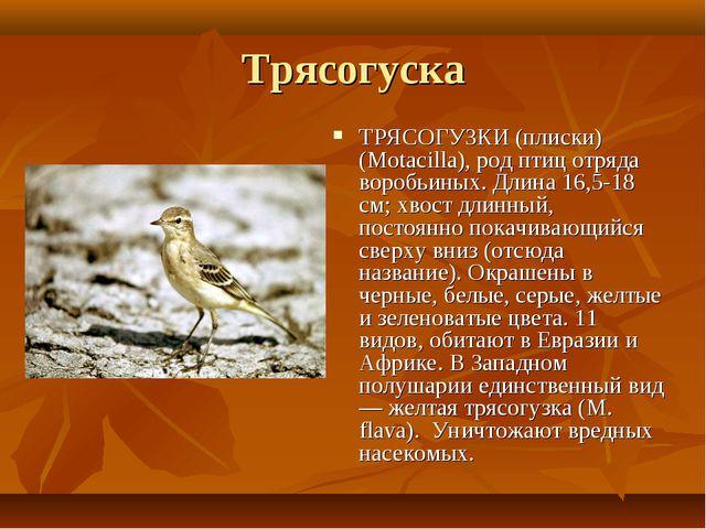 Трясогуска ТРЯСОГУЗКИ (плиски) (Motacilla), род птиц отряда воробьиных. Длина...