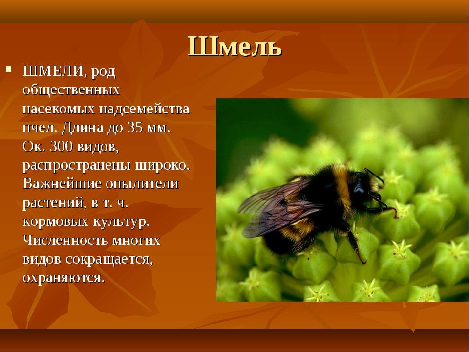 Шмель ШМЕЛИ, род общественных насекомых надсемейства пчел. Длина до 35 мм. Ок...