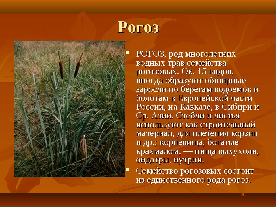 Рогоз РОГОЗ, род многолетних водных трав семейства рогозовых. Ок. 15 видов, и...